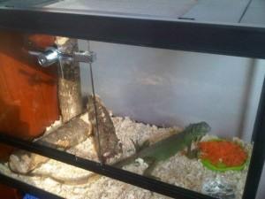 iguana terarium