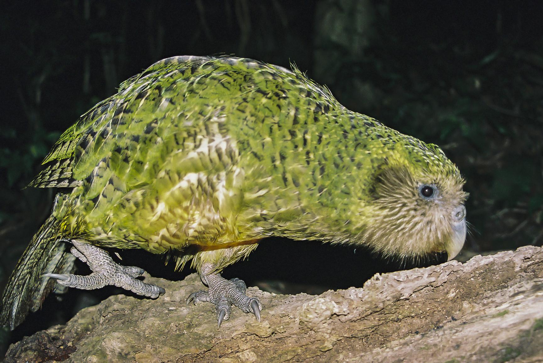 Kakapo Kuşu